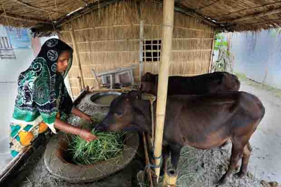 Cattle rearing improves char people's economic condition