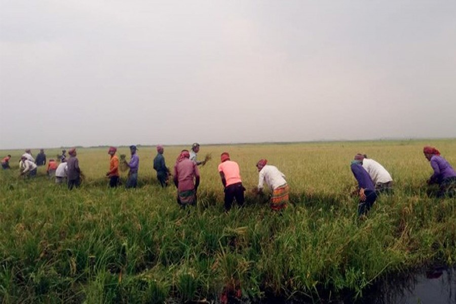 A group of farmers harvesting early-cultivated Boro paddy at a field under Jagannathpur upazila of Sunamganj district on April 13, 2019 — FE Photo