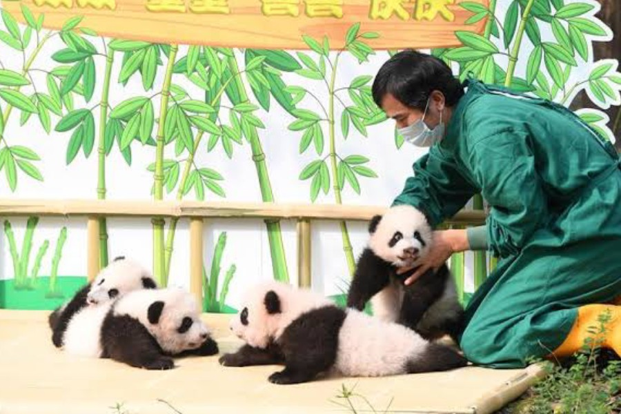 A staff member of Chongqing Zoo takes care of two pairs of newborn giant panda twins at an outdoor naming ceremony in southwest China's Chongqing Municipality, Sept. 30, 2019 - Xinhua/Tang Yi
