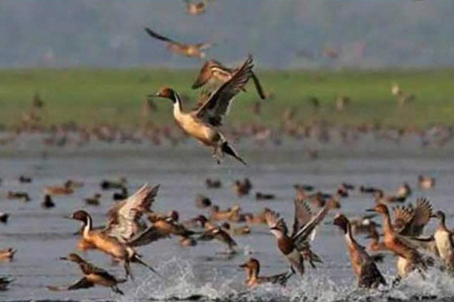 A flock of migratory birds enjoying in water of the Kadam Beel under Sharsha upazila of Jashore district   —  FE Photo