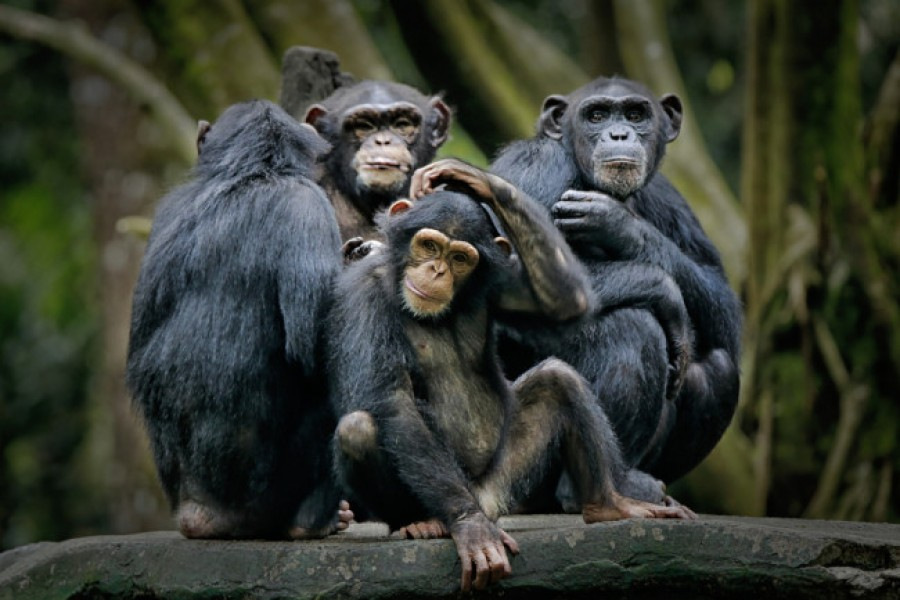 Chimpanzees likely to share tools during complex tasks: Study