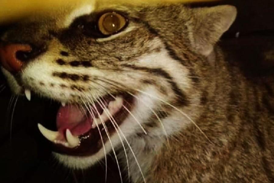 Villagers capture rare fishing cat in Magura
