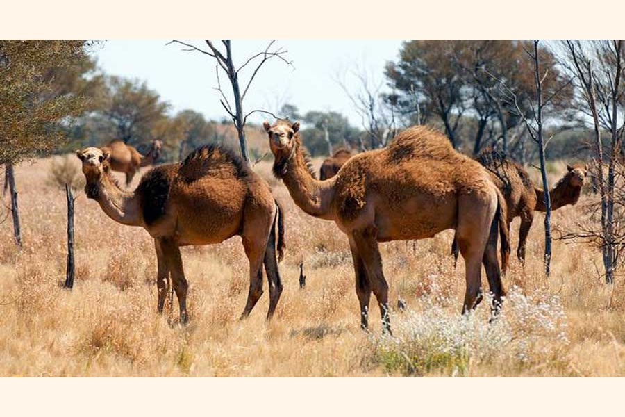 Australia to cull thousands of camels for water crisis