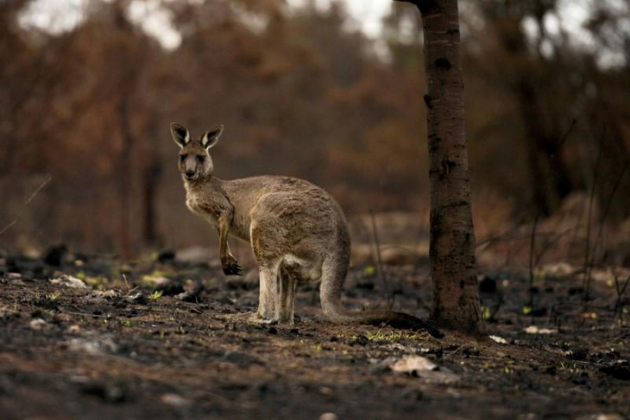 FILE PHOTO: An injured kangaroo with a joey in its pouch, limps through burnt bushland in Cobargo, Australia January 9, 2020. REUTERS/Tracey Nearmy/File Photo