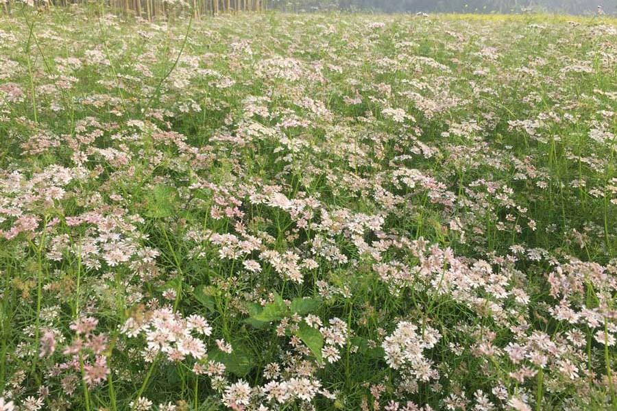 A partial view of a coriander field at a village under Magura Sadar upazila — FE Photo