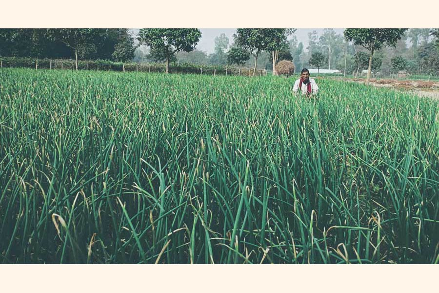 A farmer taking care of his onion field at Rupshi village of Ranipukur union under Mithapukur upazila of Rangpur   	— FE Photo