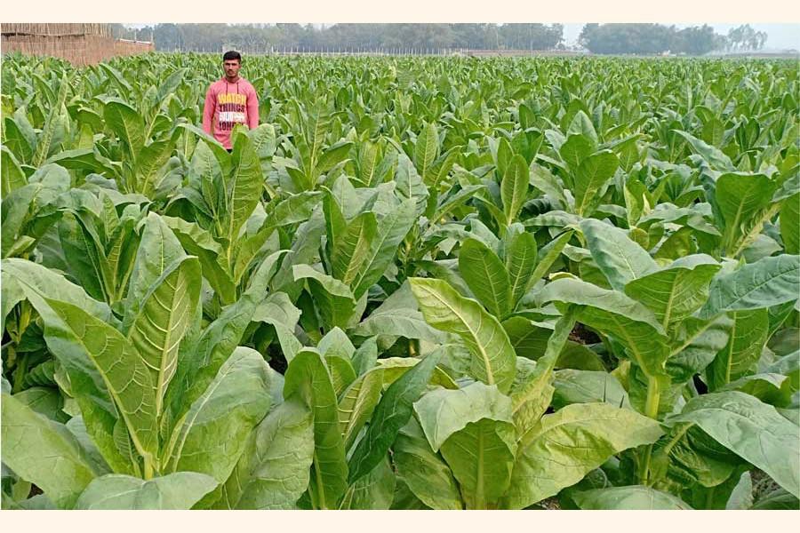 A partial view of a tobacco field at a village under Rangpur Sadar upazila — FE Photo