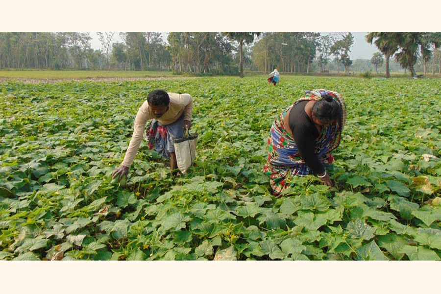 Peasants collecting cucumber from a field in Betaga union under Fakirhat upazila of Bagerhat district — FE Photo