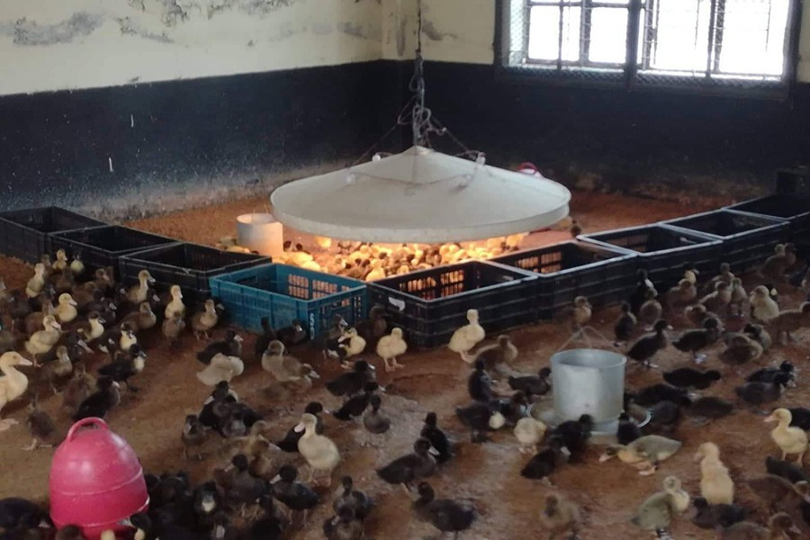 Ducklings being raised at the Mymensingh Regional Poultry Breeding Farm in Mymensingh town — FE/Files