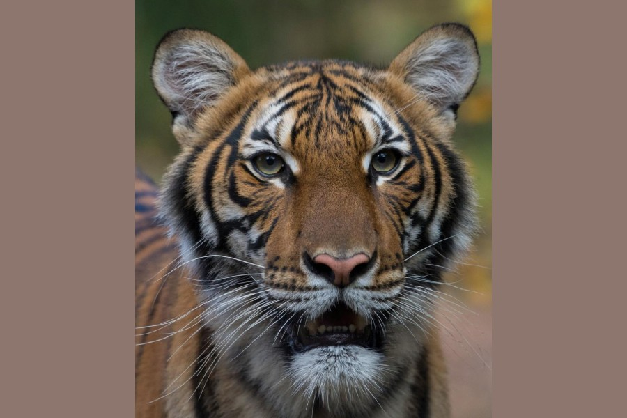 FILE PHOTO: Nadia, a 4-year-old female Malayan tiger at the Bronx Zoo, that the zoo said on April 5, 2020 has tested positive for coronavirus disease (COVID-19) is seen in an undated handout photo provided by the Bronx zoo in New York. WCS/Handout via REUTERS