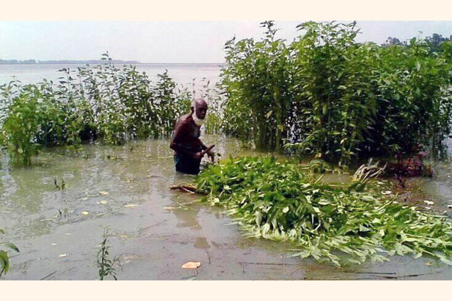 Due to rise in Jamuna water level, farmers harvesting immature jute in Dhunot upazila of Bogura — FE photo