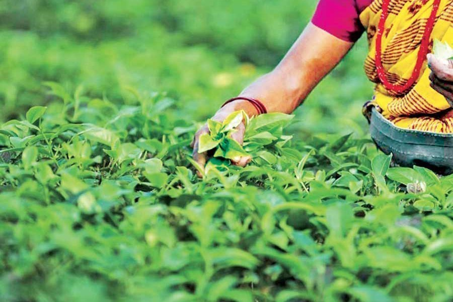 Govt asks Bangladesh Bank to include tea sector in stimulus package