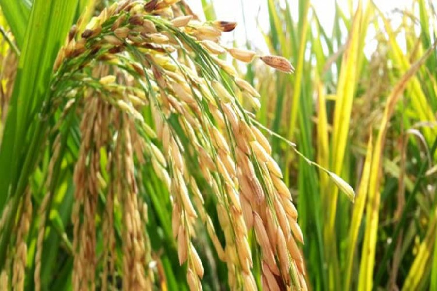 Fourth spell of flood in northern region affects Aman, early winter crops