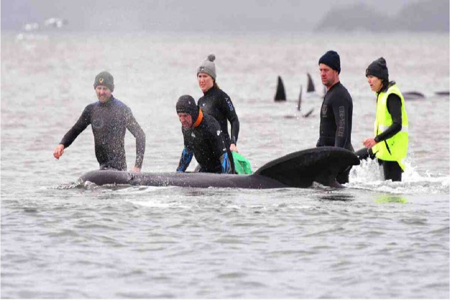 In this file photo, members of a rescue crew stand with a whale on a sand bar near Strahan, Australia.AP Photo